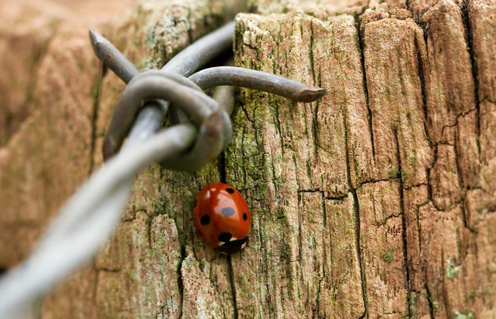 Auf dem Bild sieht man/frau einen Marienkäfer bei einen Stacheldraht als Symbol für die Traumatherapie.